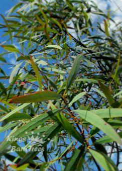 Eucalyptus Species At Eucalyptus Trees Co Uk